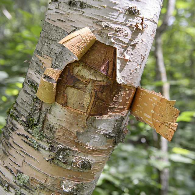 Birch Tree Defaced
