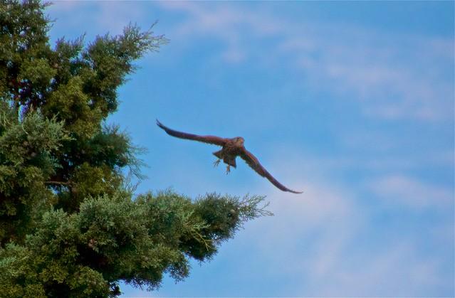 le Faucon décolle en face de ma terrasse.....   (Vendémian, Hérault)