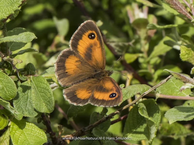 Oranje zandoogje (Pyronia tithonus)-820_3629