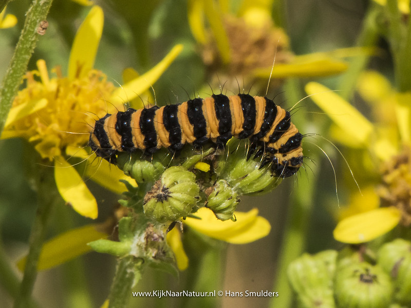 Sint-jacobsvlinder (Tyria jacobaeae)-820_3611