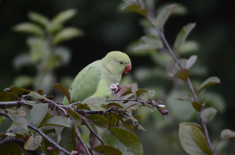 Parakeet in tree
