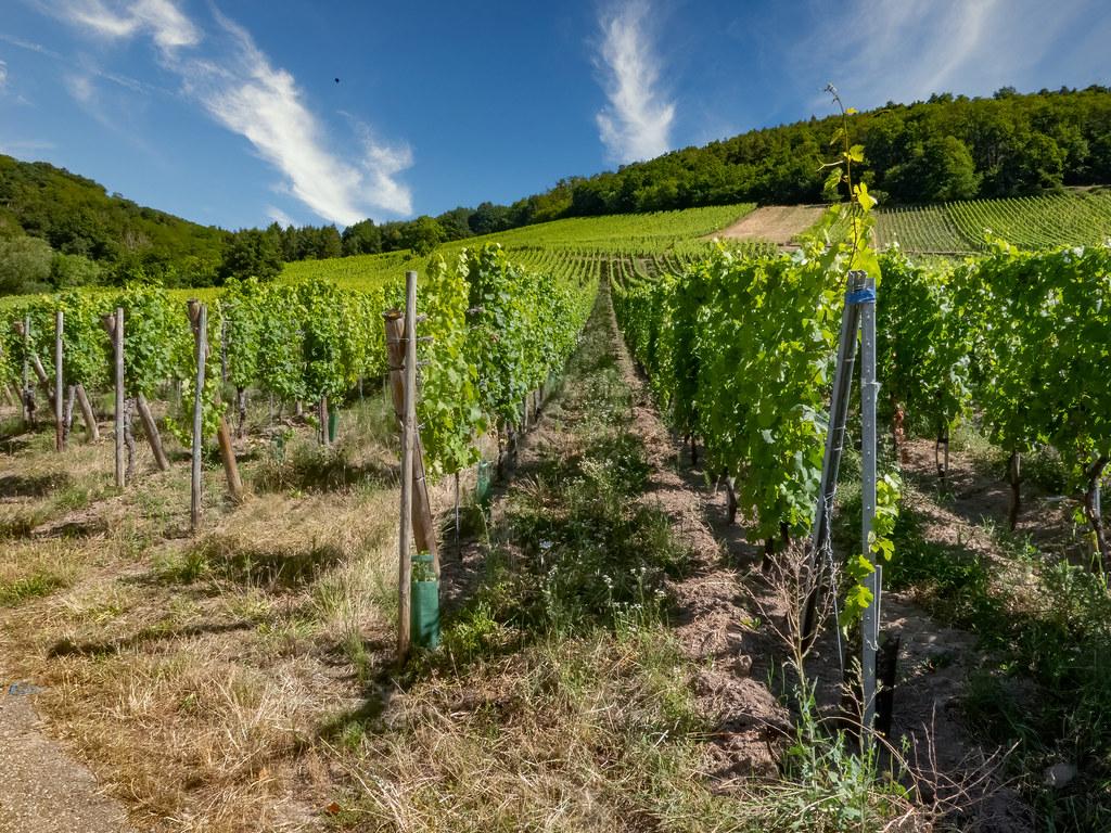 Le vignoble d'Andlau... 50115798753_1e095eeaf9_b