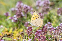Cuivré Commun – Small Copper – Lycaena phlaeas