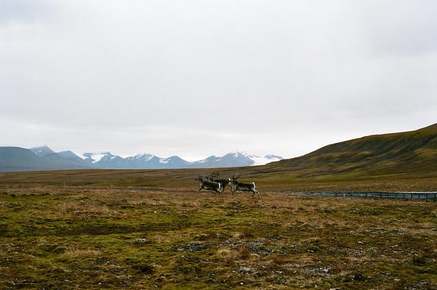 Raindeers, Isfjord, Svalbard