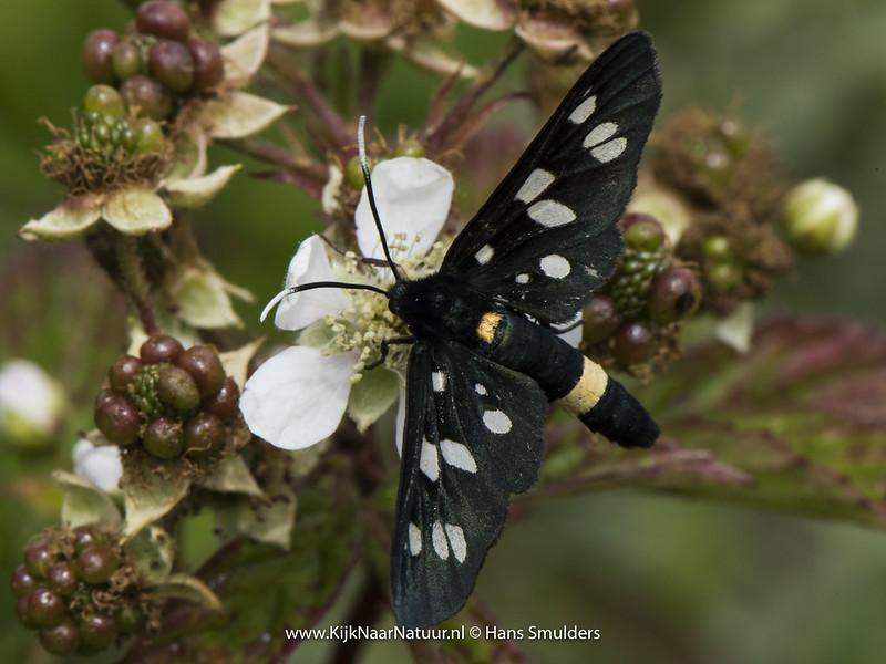 Phegeavlinder (Amata phegea)-820_3626
