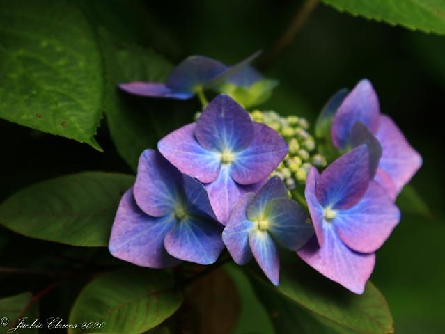 Dunham Massey Flowers 14 Jul 20 -33