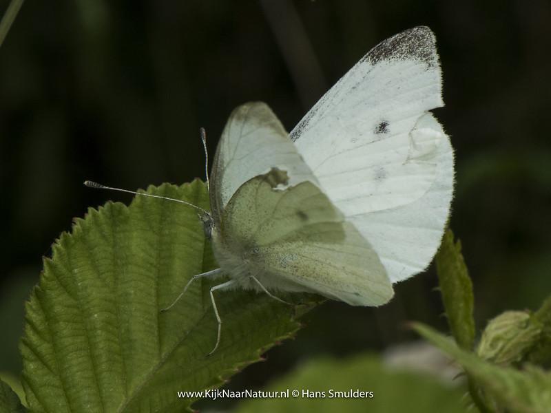 Klein koolwitje (Pieris rapae)-820_3624