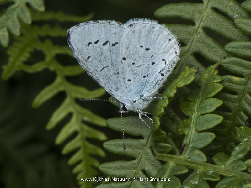 Klein koolwitje (Pieris rapae)-820_3621