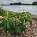 Stechapfel am Rheinufer