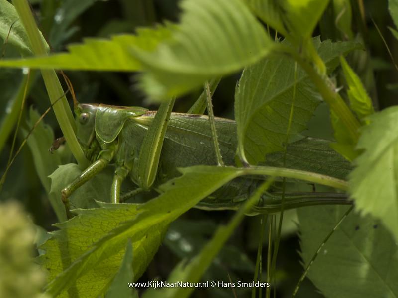 Grote groene sabelsprinkhaan (Tettigonia viridissima)-820_3562