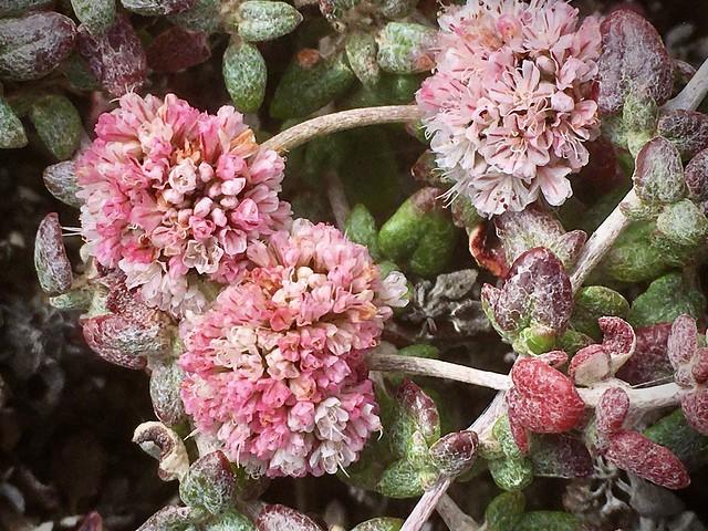 More pink puffballs! Blufftop buckwheat fiesta!