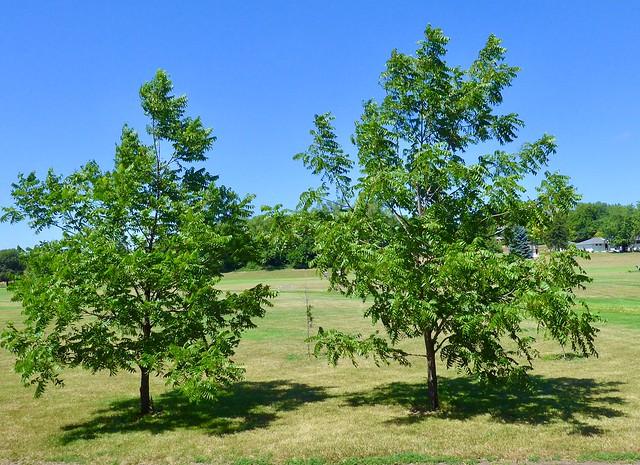 Black walnut trees, WSC Arboretum