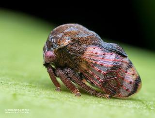 Treehopper (Coccosterphus sp.) - P7040203