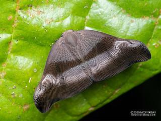 Moth-like planthopper (Ricaniidae) - P7110207