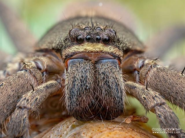Huntsman spider (Heteropoda sp.) - P7110187