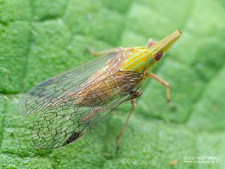 False lanternfly (Dictyopharidae) - P7110014