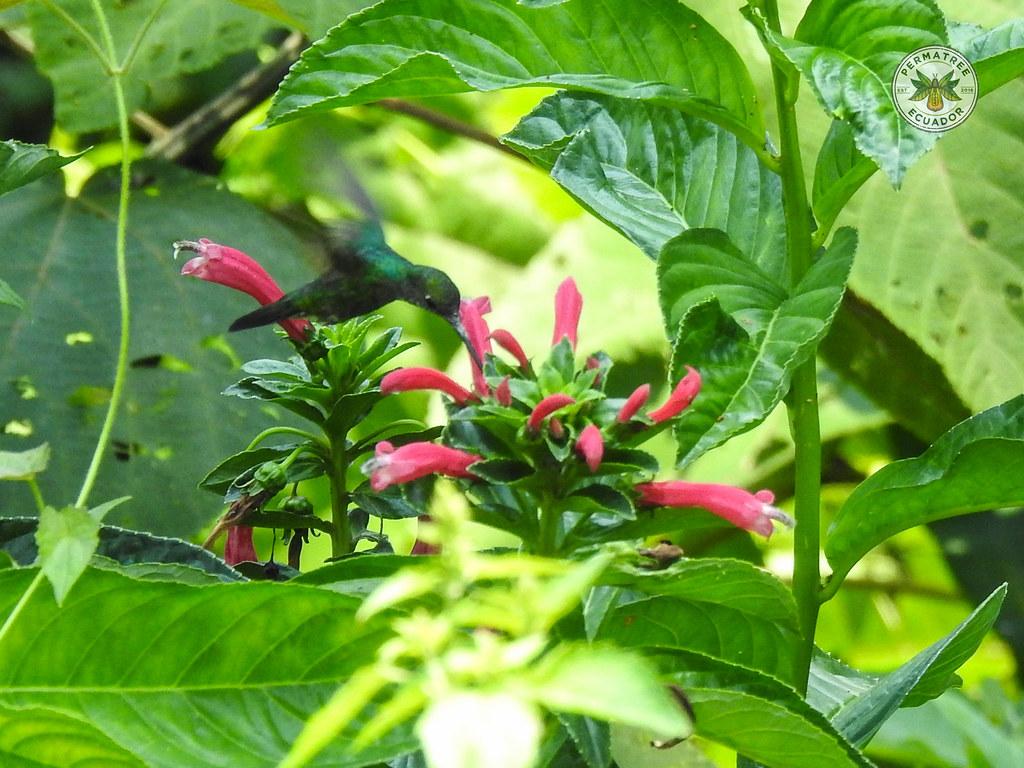 Glittering-throated Emerald (Amazilia fimbriata)