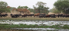 Central African buffaloes, Dikere,  Zakouma National Park, Chad