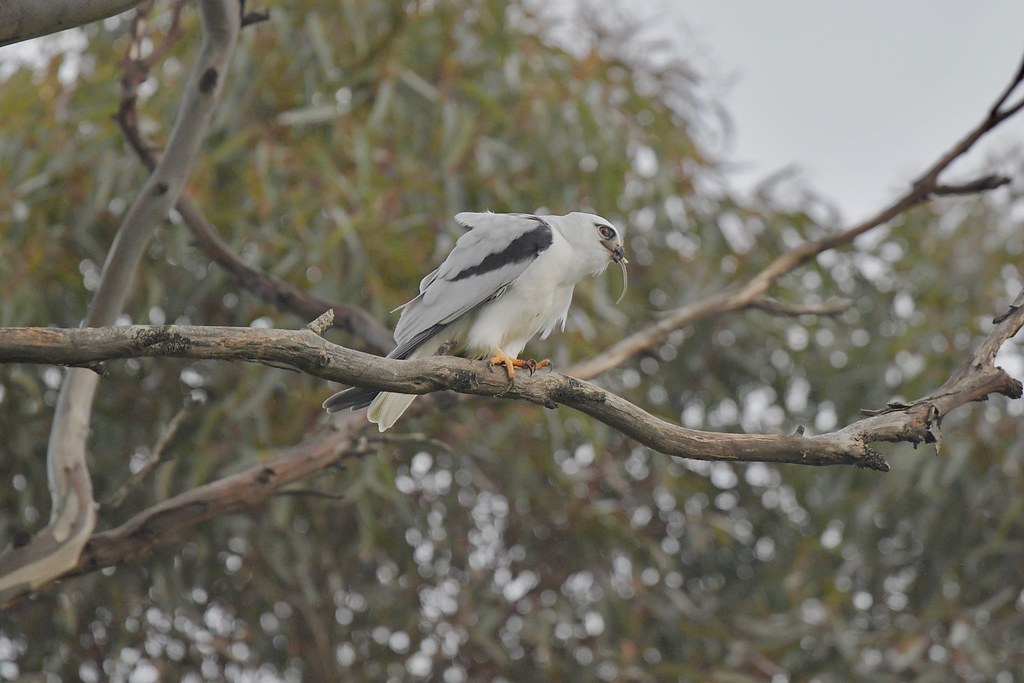 Black-shouldered Kite ( now Dad is taking time out )