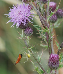 197-2020-366-(1698) Soldier Beetle fighting a losing battle