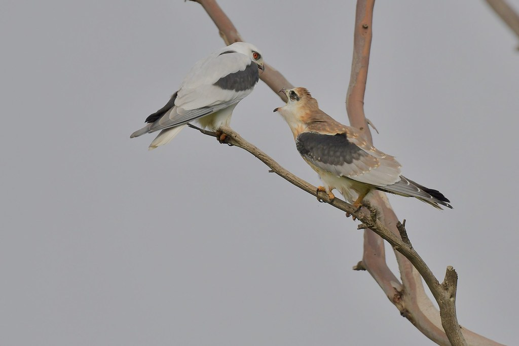 Black-shouldered Kites( ( and I'm still hungry )