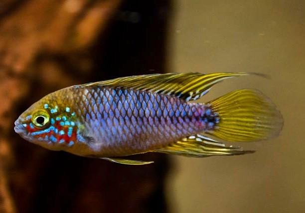 "A shot of the new papa apistogramma borelli ""opal"" #apistogrammaborelli #apistogrammaborelliopal #apistogramma #fish #aquarium #dwarfcichlid"