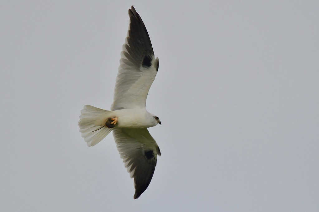 Black- shouldered Kite ( your not having this  mouse )
