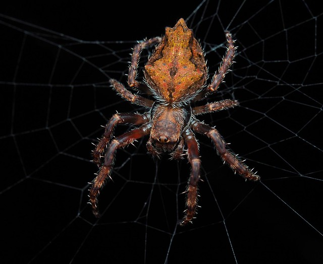 Toffee spider!