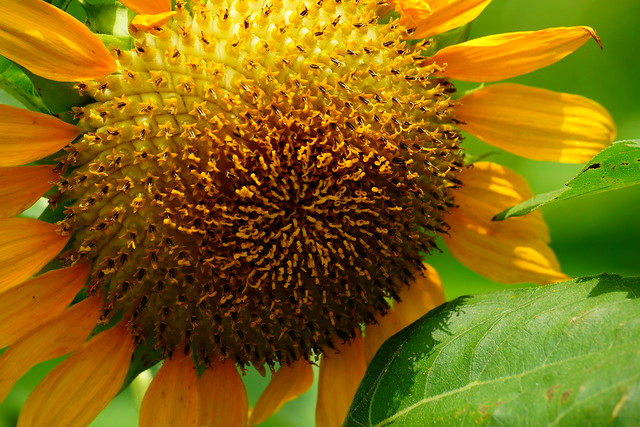 ひまわり-2 Sunflower 春すぎて 夏来たるらし💙 Spring is over, Summer is coming-59