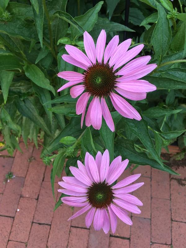 Washington daisies