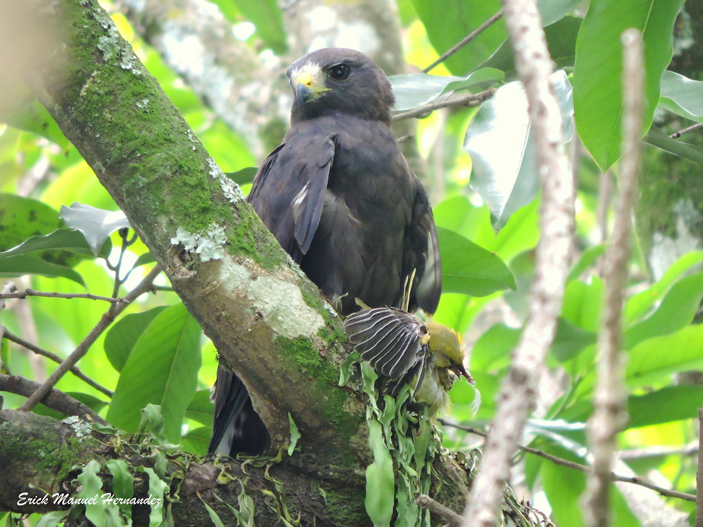 "Gavilan Cola Corta ""Buteo brachyurus"" [Short-tailed Hawk]"