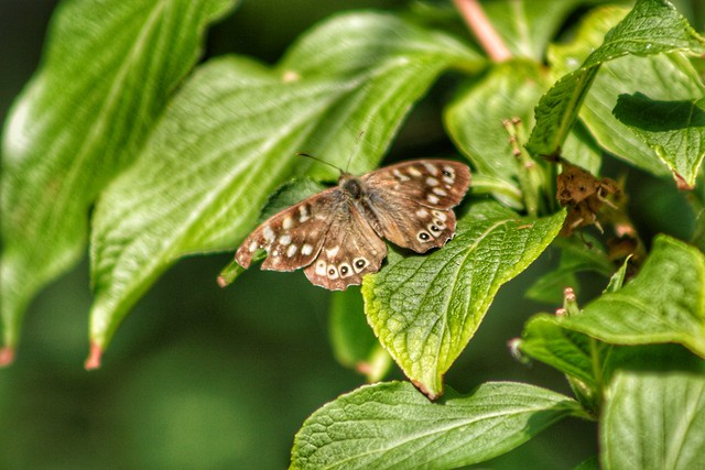 Speckled Wood...