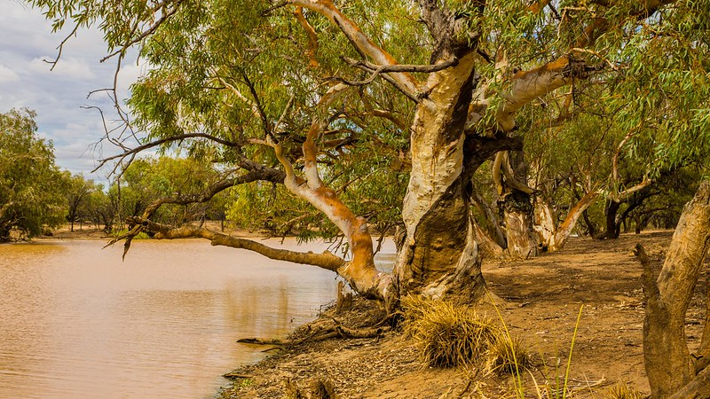 Majestic old River Redgums on the Paroo River at Currawinya National Park, Qld.