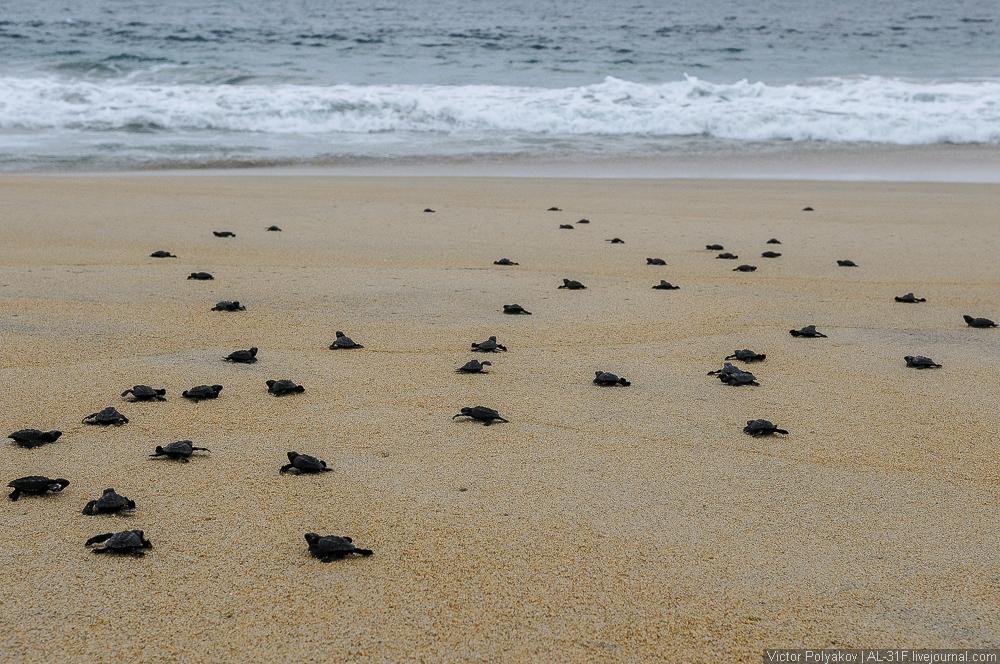 Новорожденные черепахи