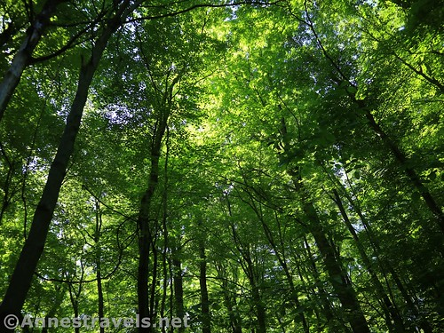 Looking up into the beeches in Webster Park, New York