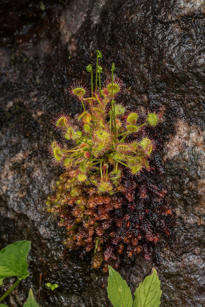 Round-leaf Sundew