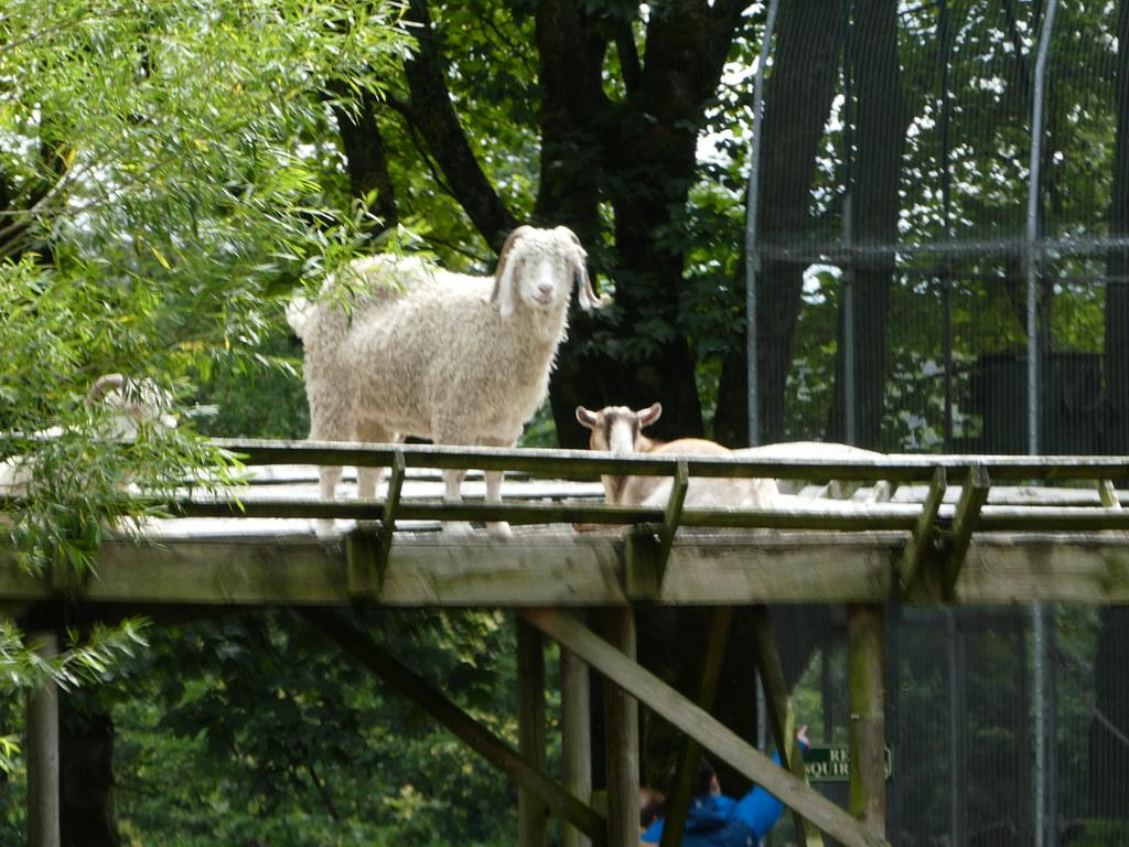 Angora Goats, Kilnsey Park Estate
