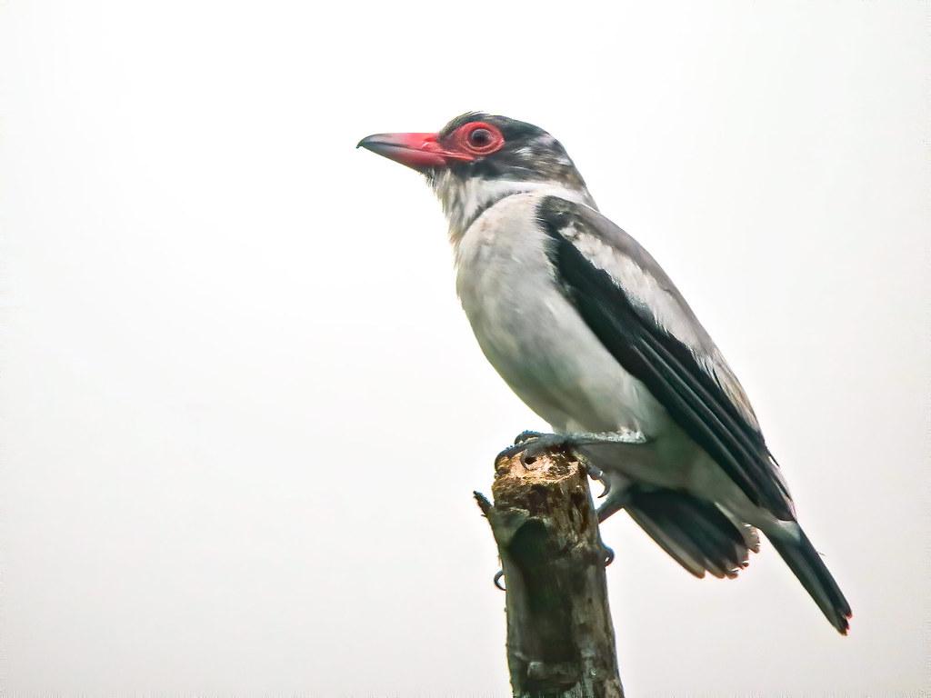 Black-tailed Tityra (Tityra cayana), Río Silanche, Ecuador