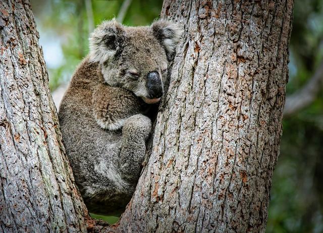Tanilba Bay Koala