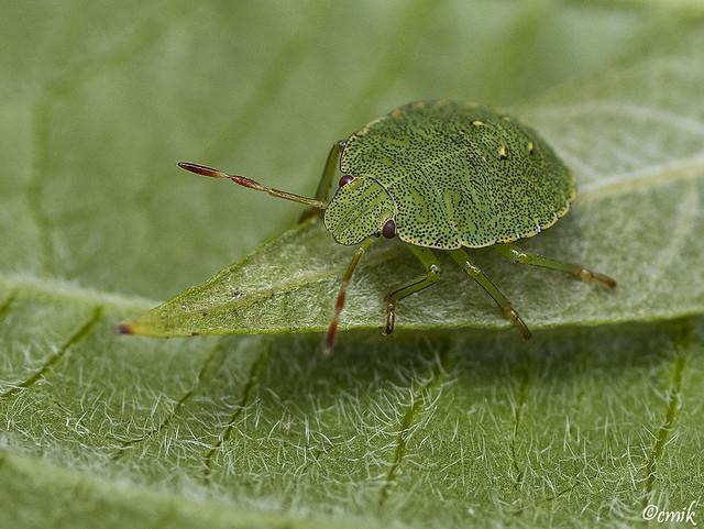 Groene Schildwants - Green shield bug