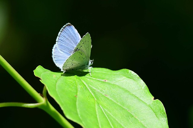 Dwergblauwtje ( Cupido minimus, Argus frêle ou Argus minime, Zwerg-Bläuling, small blue )