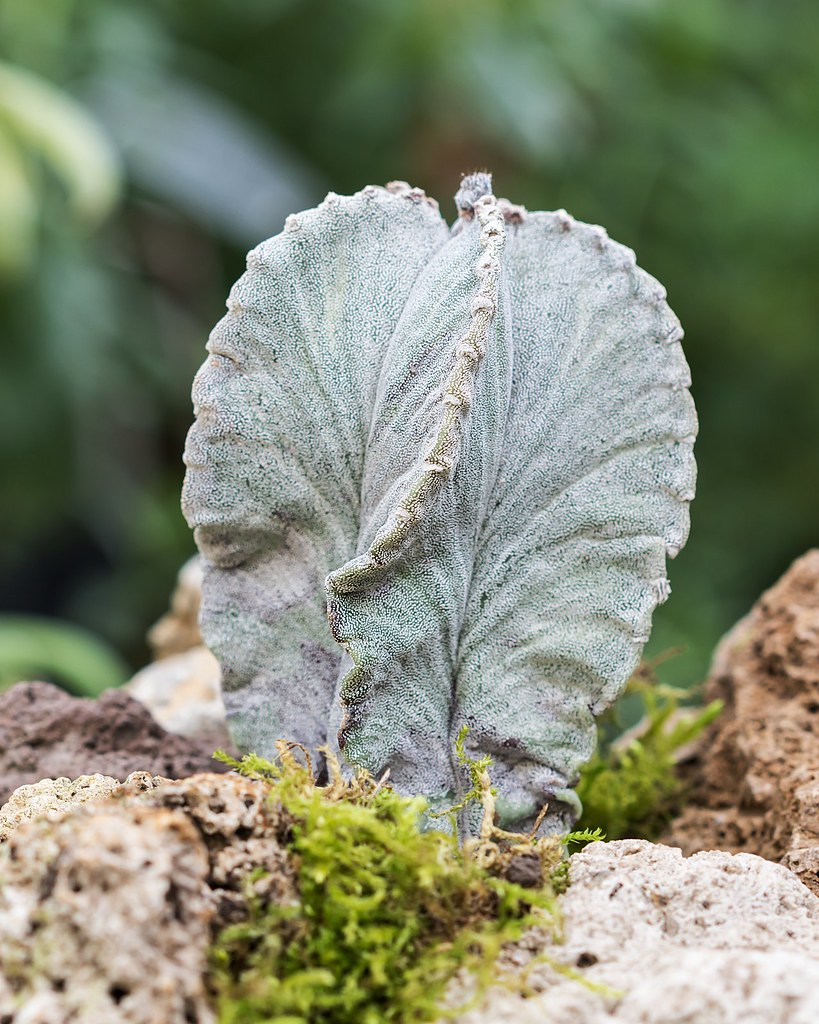 Astrophytum myriostigma ´Strongylogonum´ 0012-7; Cactaceae (1a)
