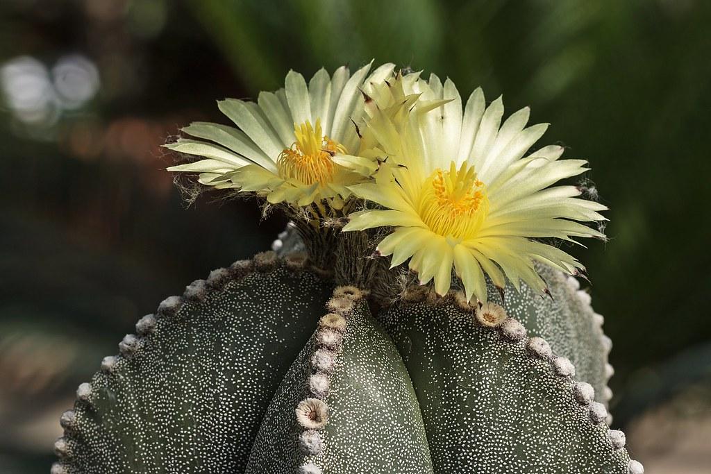 Astrophytum myriostigma 0012-3; Cactaceae (5)