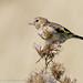 European Goldfinch (immature)