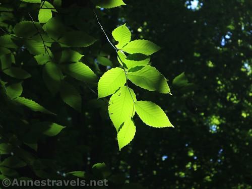Sunshine through beech leaves, Webster, New York