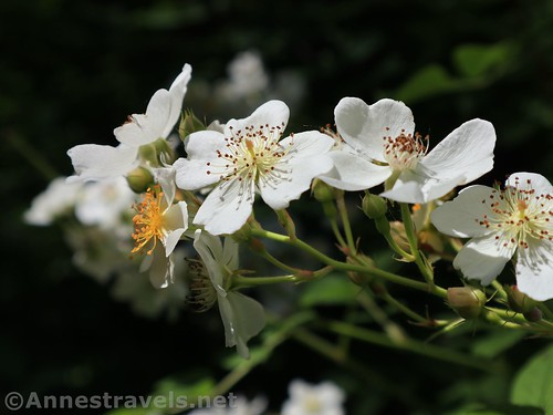 Blooms on Himalayan blackberry plants in Webster Park, New York