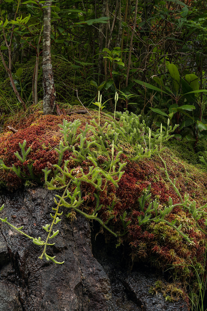 Wolf's-paw Clubmoss on Sphagnum