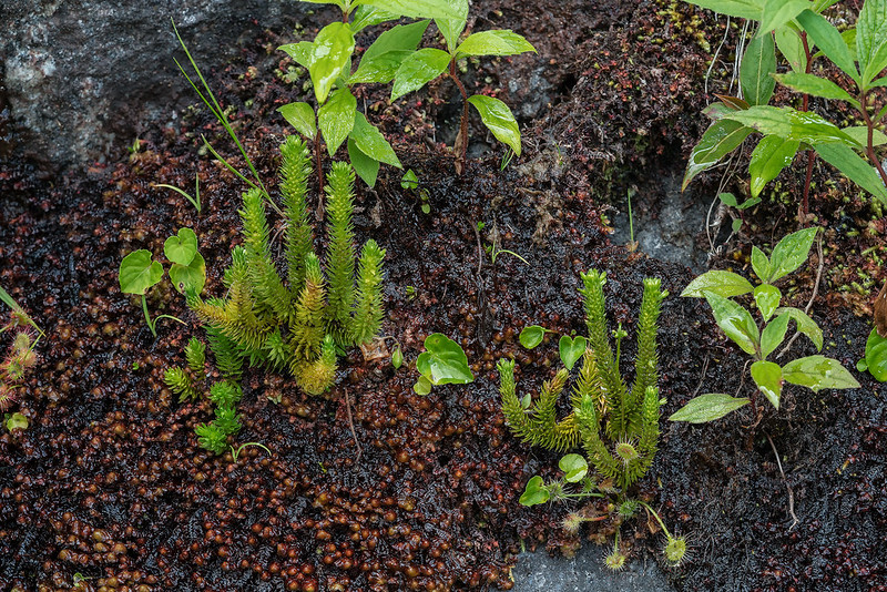 Appalachian Clubmoss with Round-leaf Sundew