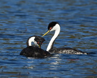 Western grebes courting