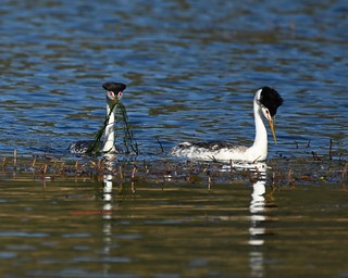 Clark's grebe offering weeds to a mate